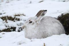 Schneehase Lepus timidus in seinem weißen Mantel des Winters in einem Schneeblizzard hoch in den schottischen Bergen stockfoto