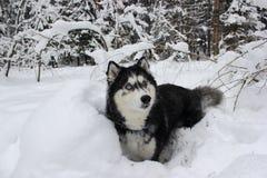 Schneehund Stockfotos