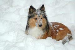 Schneehund Stockfoto