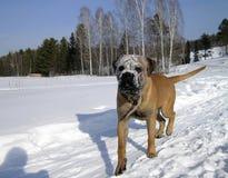 Schneehund Lizenzfreie Stockfotos