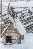 Schneehund der beste Freund des Mannes stockfotos