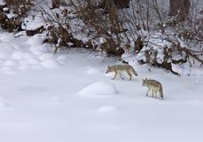 Schneekojote Yellowstone-Park-Wyoming-r Lizenzfreie Stockbilder