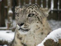 Schneeleopard stockfotografie
