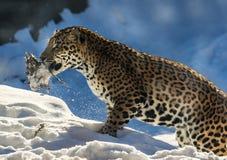 Schneeleopard Stockfotos