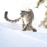 Schneeleopard im Winter Stockfotografie