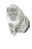 Schneeleopard lokalisiert auf weißem Hintergrund stockfotos