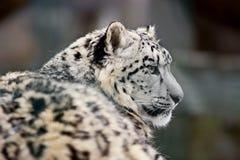 Schneeleopard (Uncia uncia) Stockbild