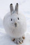 Schneeschuh-Hasen Lizenzfreies Stockfoto