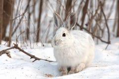 Schneeschuh-Hasen im Winter Lizenzfreie Stockbilder