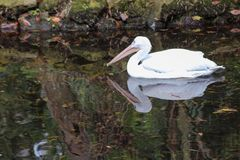 Schneesichler nachgedacht über einen ruhigen Teich stockfotografie