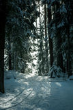 Schneespur, die durch Kiefernwald führt stockfoto