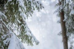 Schneespur, die durch Kiefernwald führt Stockfotografie