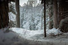 Schneespur, die durch Kiefernwald führt lizenzfreies stockfoto