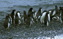 Schneesturm, große Gruppe Adelie-Pinguine Stockfotos