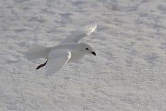 Schneesturmvogel, der über die schneebedeckten Ebenen fliegt Stockfotos