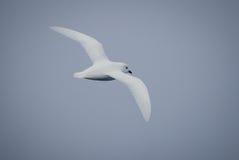 Schneesturmvogel im Flug in der Antarktis Lizenzfreies Stockbild