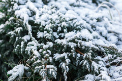 Schneetannen-Baumzweige unter Schneefällen Winterdetail Stockbild