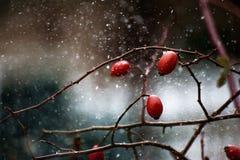 Schneewetter und nette wilde Rosenbeeren stockfotografie