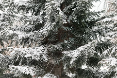 Schneewinter-Baumast Kiefer Lizenzfreie Stockfotos