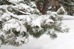 Schneewinter-Baumast Kiefer Stockbilder