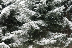 Schneewinter-Baumast Kiefer Stockfotos