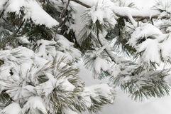 Schneewinter-Baumast Kiefer Stockfoto
