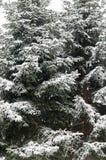 Schneewinter-Baumast Kiefer Stockfotografie