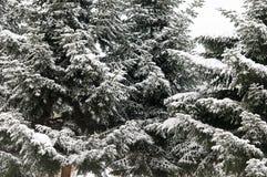 Schneewinter-Baumast Kiefer Stockbild