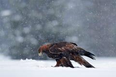 Schneewinter mit Adler Raubvogel Steinadler mit Tötungshasen im Winter mit Schnee Szene der wild lebenden Tiere von Schweden-Natu Lizenzfreie Stockfotos