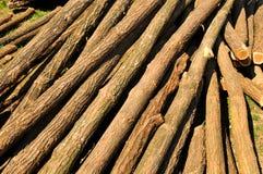 Schneiden Sie Akazienbaum während eines sonnigen Tages des schönen Frühlinges Lizenzfreies Stockbild
