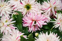 Schneiden Sie Halbkaktus Dahlien für Verkauf in einem Durcheinander stockbild