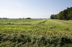 Schneiden Sie Heu in den Reihen an einem grünen Feld Stockfotografie