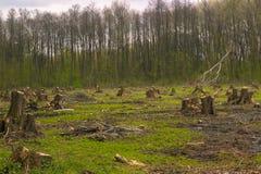 Schneiden Sie Kiefer auf der Seite des Holzes, Waldunfall Stockbilder