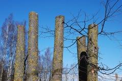 Schneiden Sie Limettenbaum Lizenzfreie Stockbilder