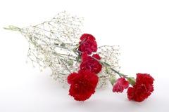Schneiden Sie rote Gartennelken Lizenzfreie Stockbilder