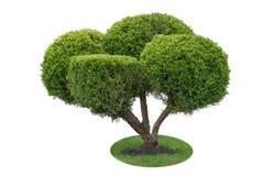 Schneiden Sie schön Busch auf grünem Gras gegen weißen Hintergrund Stockfotos