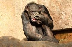 Schneiden Sie Schimpansen Stockfotografie