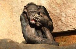 Schneiden Sie Schimpansen Stockfotos