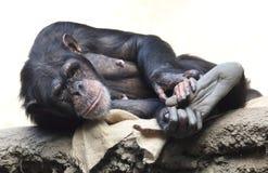 Schneiden Sie Schimpansen Lizenzfreies Stockbild
