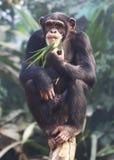 Schneiden Sie Schimpansen Stockbilder