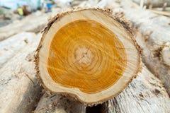Schneiden Sie in Stamm des hölzernen Baumstumpfs des Teakholzes mit Sprüngen und Altersringen: stockfoto