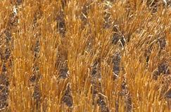 Schneiden Sie Stiele des Weizens auf dem Feld Stockbild