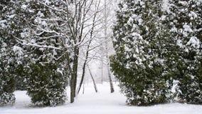 Schneien auf grünem Thujabaumhintergrund stock video footage