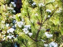 schneien Sie auf Niederlassungen von Kiefern am sonnigen Tag Lizenzfreies Stockbild