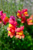 Schnell-Dragon Flower Close oben Lizenzfreie Stockfotos