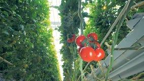 Schnelle Schussänderung von den Büschen von grünen Tomaten an einer Gruppe des Rotes eine stock video
