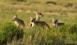 Schneller Fox Stockbild