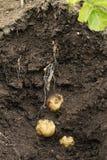 Schnelles (erstes frühes) Wachsen der Kartoffel im Boden. Stockfotos