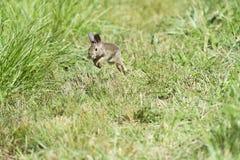 Schnelles Kaninchen Lizenzfreie Stockfotografie