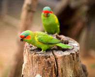 Schnelles Papageienporträt Stockfotografie